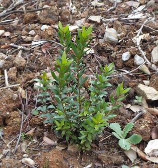 Su Piroi: devastate 100 piante di fichidindia, crescono 100 piante di mirto